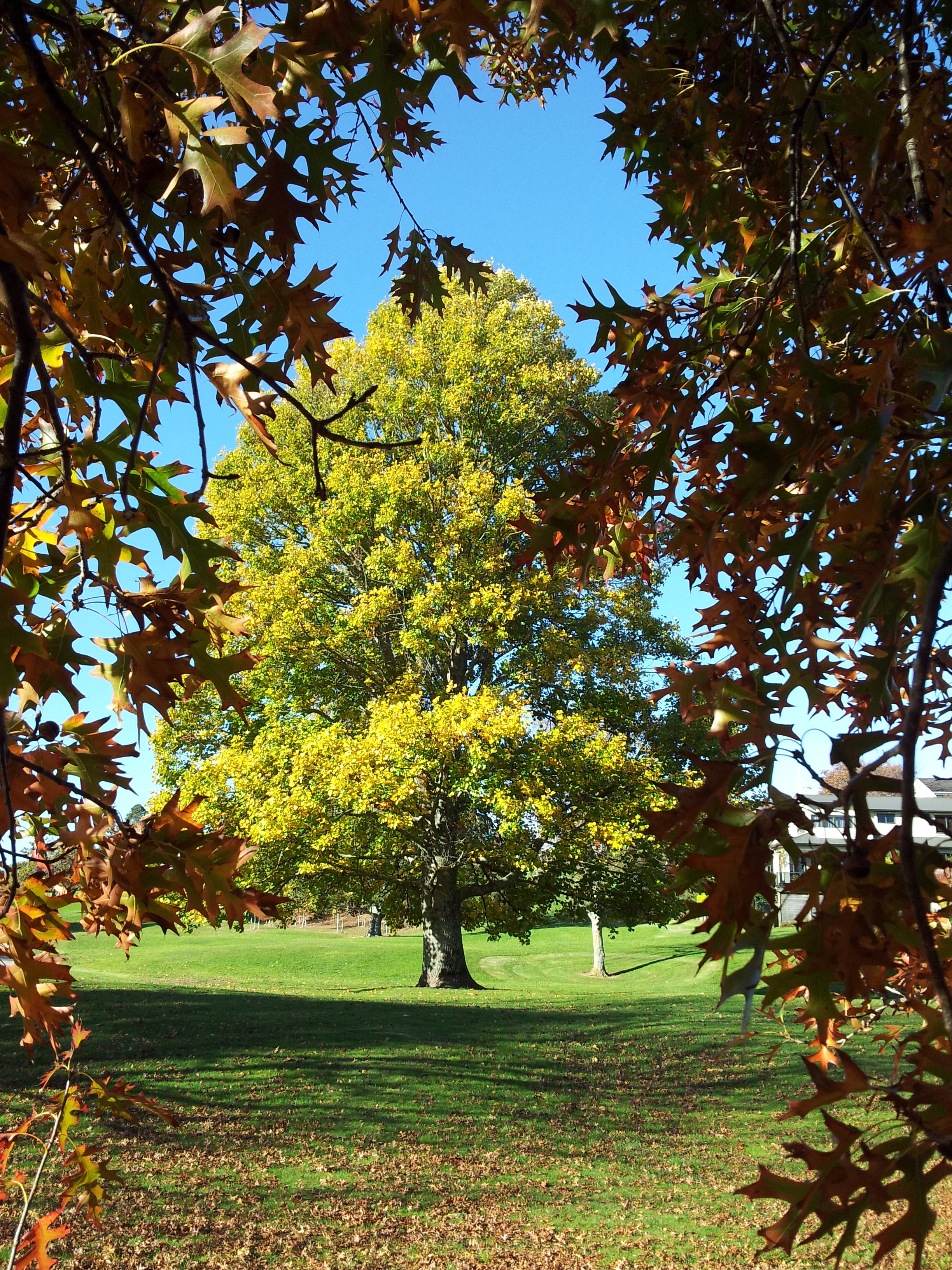Autumn trees in Day's Park, Hamilton