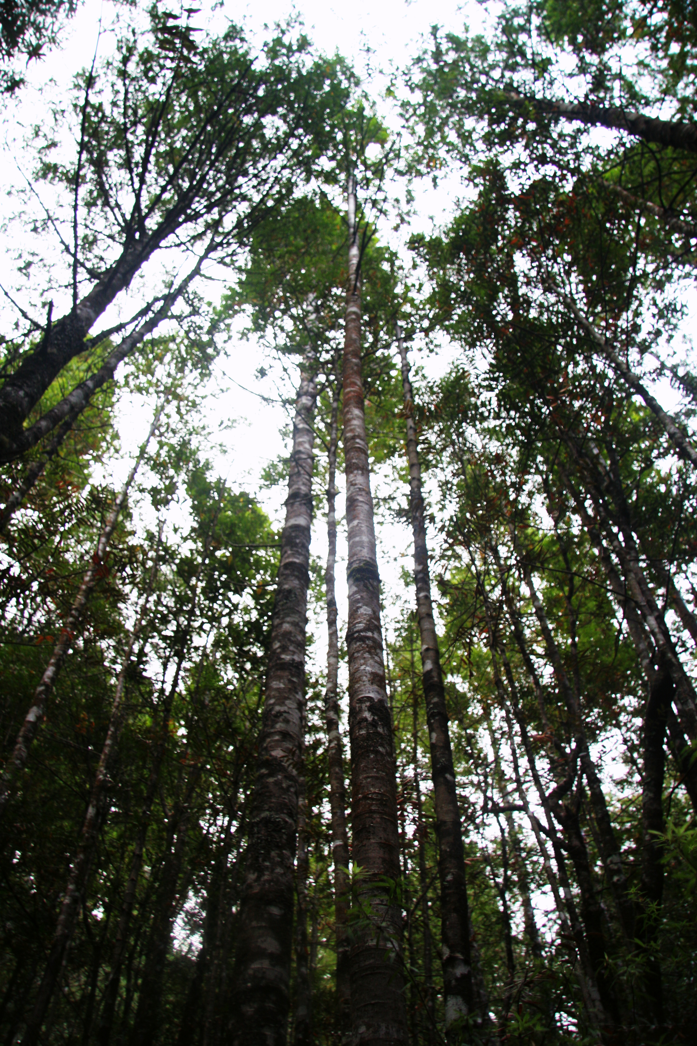 Rickers - young kauri trees towering looking upwards to the sky
