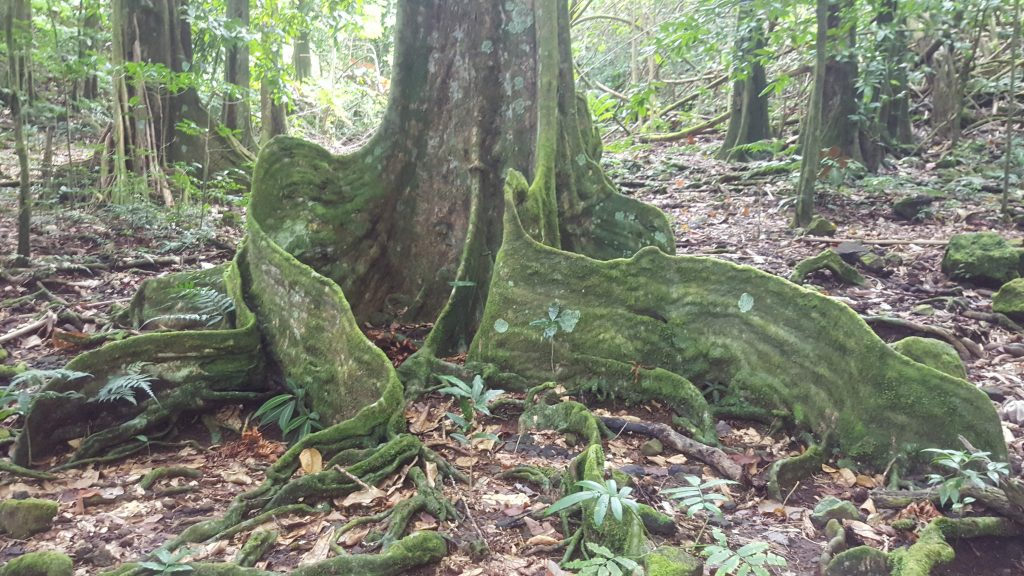 twisted buttress roots of chestnut tree in a forest