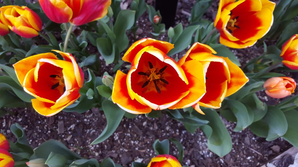 Red and yellow poppoies in a flower bed phtographed from above.